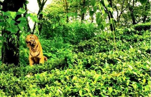 Lalani & Co: Makaibari Garden