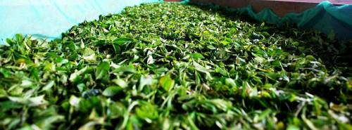 Lalani & Co: Jun Chiyabari Garden Withering