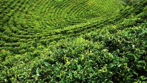 Lalani & Co: Jun Chiyabari Tea Garden