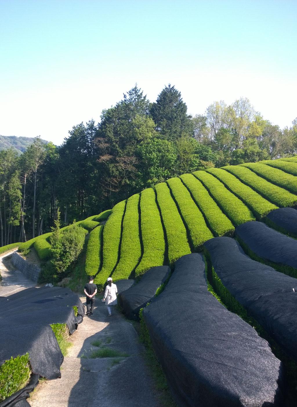 Lalani & Co London: Matcha tea garden Japan