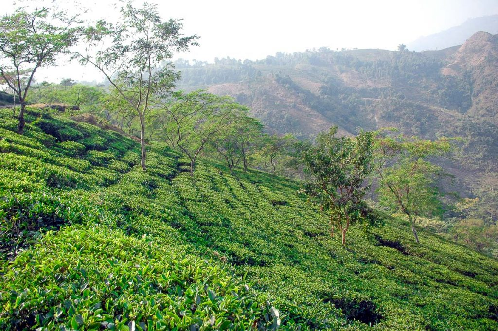 Lalani & Co: Rohini Tea Garden